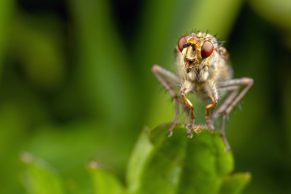 Yellow Dung Fly Face