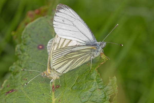 Mating Green-viened Whites