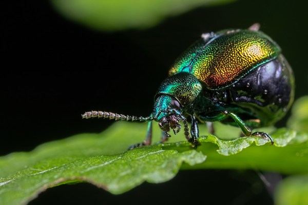Dock Leaf Beetle Eating