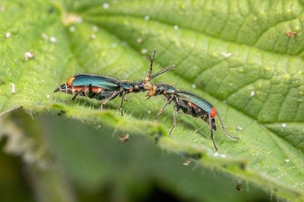 Common Malachite Beetles