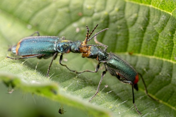 Common Malachite Beetles Standoff