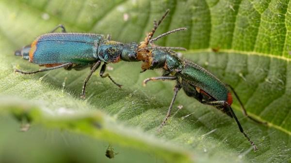 Common Malachite Beetles Pushing Pano