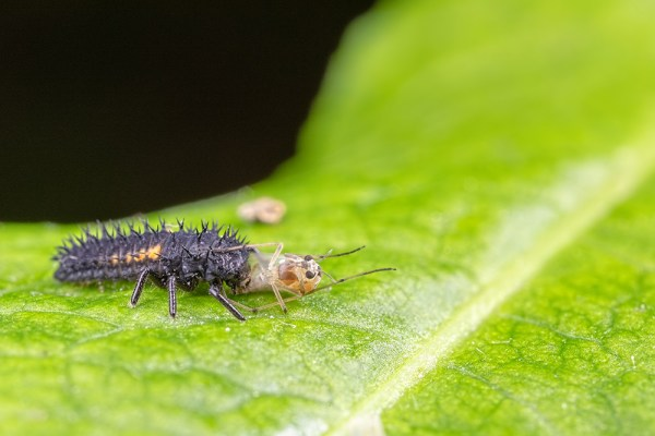 Ladybird Larvae eating an aphid