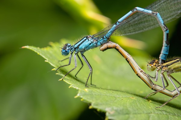 Mating Damselflies close up