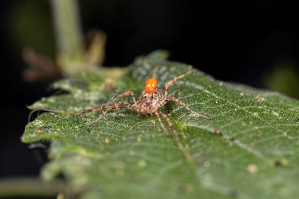 Spider with a parasite on it's body