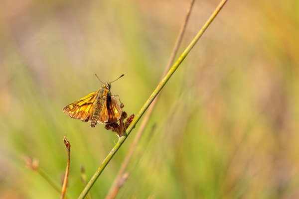 Skipper posing on a grass stem