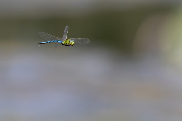 Emperor dragonfly in flight
