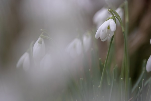 Snowdrops in the Forest -before