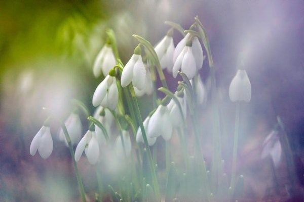 Etheral Snowdrops