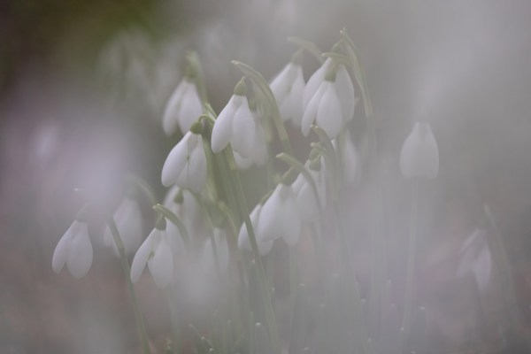 Etheral Snowdrops - before