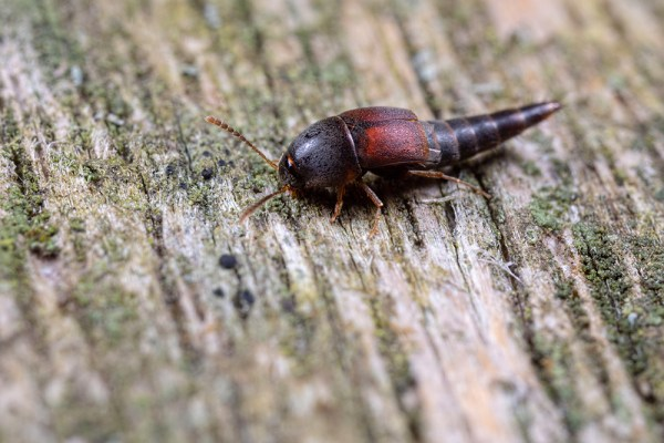 Small Rove Beetle