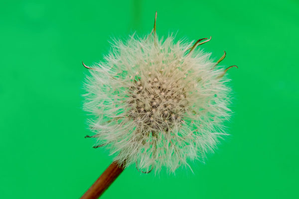 Dandelion Seeds against Green
