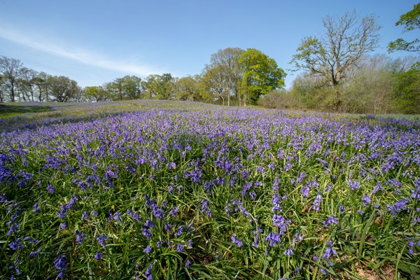 Field of Bluebells at High Wood