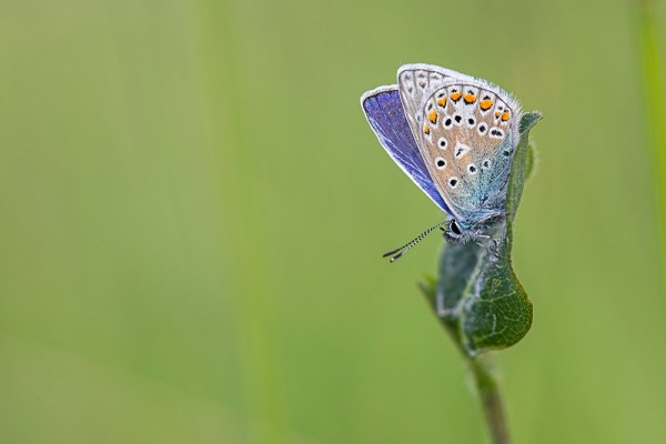 Common Blue on Leaf