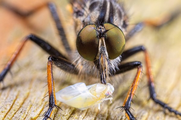 Extreme Macro of Robberfly with prey