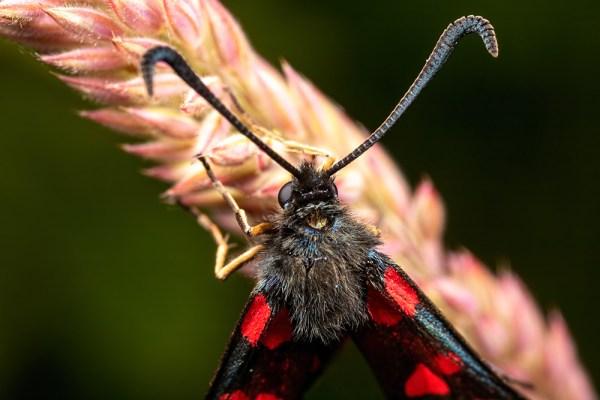 Six-spot Burnett Moth antennae