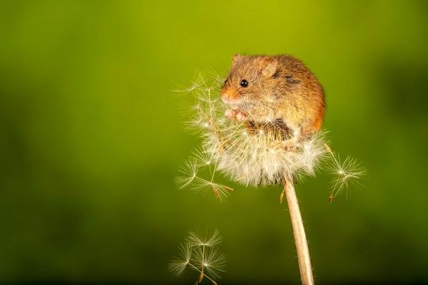 Harvest Mouse on a dandelion