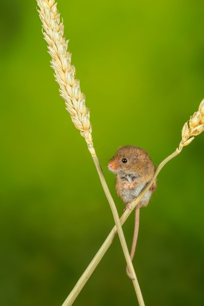 Harvest Mouse resting on corn stalks
