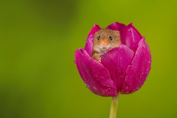 Harvest Mouse in Purple Tulip