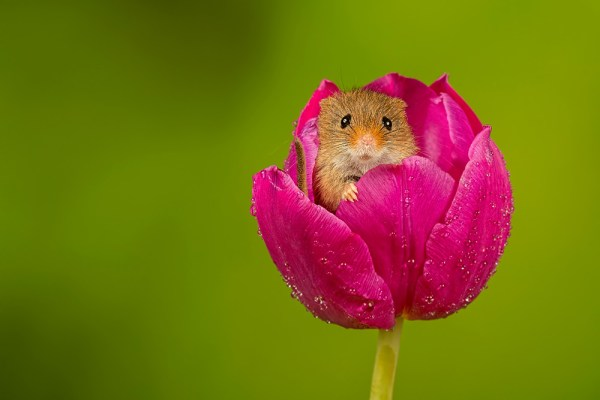 Harvest Mouse peaking out of a Purple Tulip