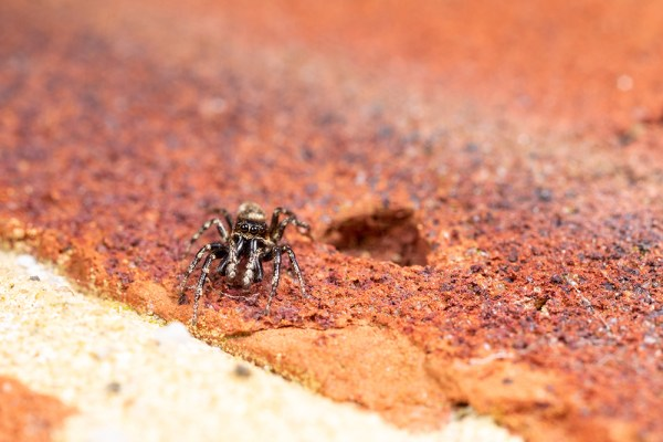 Jumping Spider perspective of size