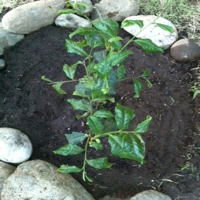 """Planting Our First Tea Bush For Making """"Twig Tea"""""""