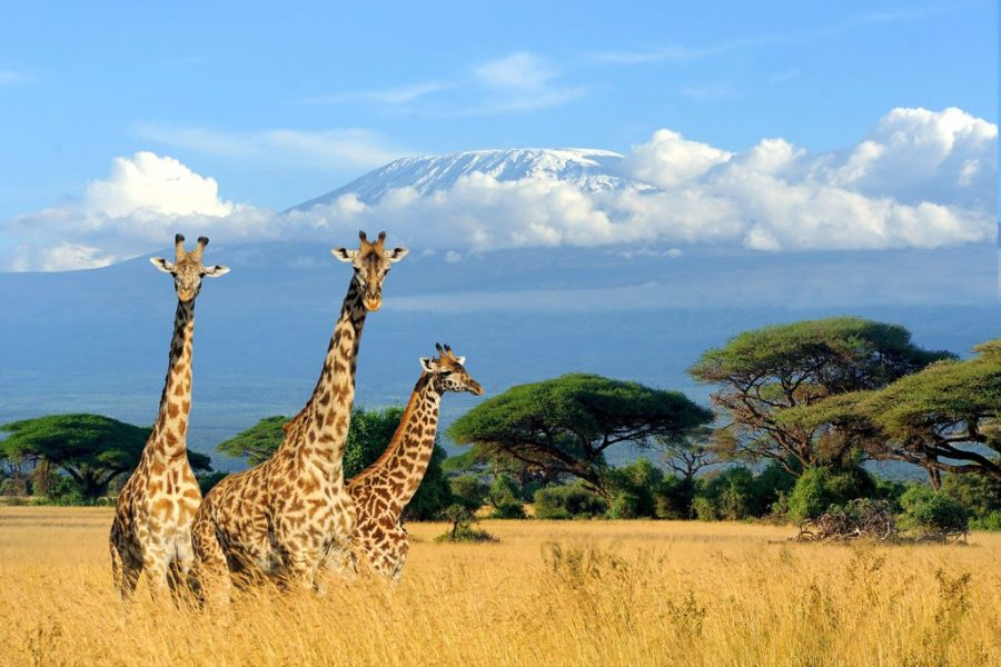 Two giraffes in front of Mt Kilimanjaro