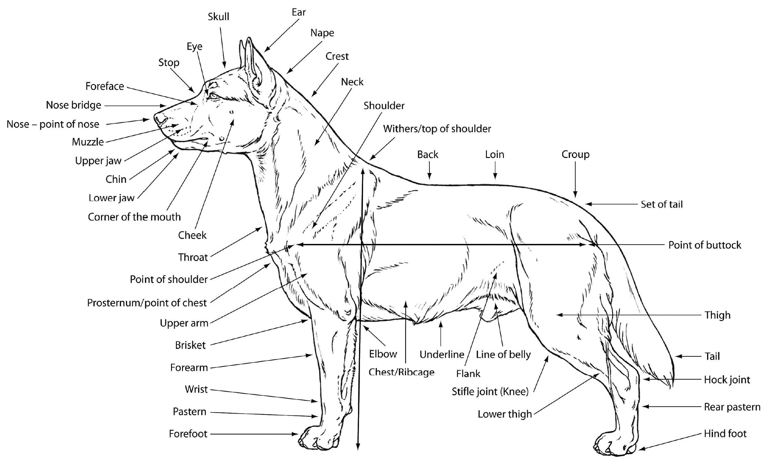 M Douglas Wray Dog Anatomy