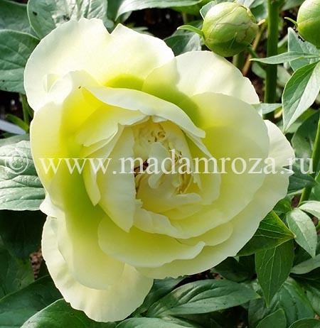 Мадам Роза:пионы,ито-гибриды пионов,древовидные пионы
