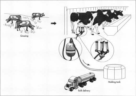 Dairy cows are milked twice a day using mechanical vacuum milking machines. The raw milk flows through stainless steel or glass pipes to a refrigerated bulk milk tank.