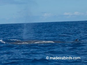 bryde_whale