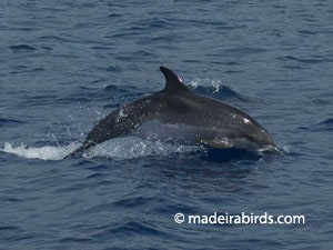 spotted_dolphin
