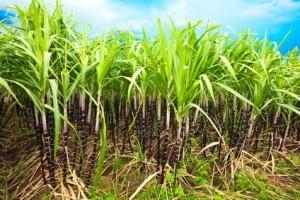 Zuckerrohr auf Madeira