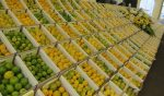Lemon Festival this weekend in Ilha
