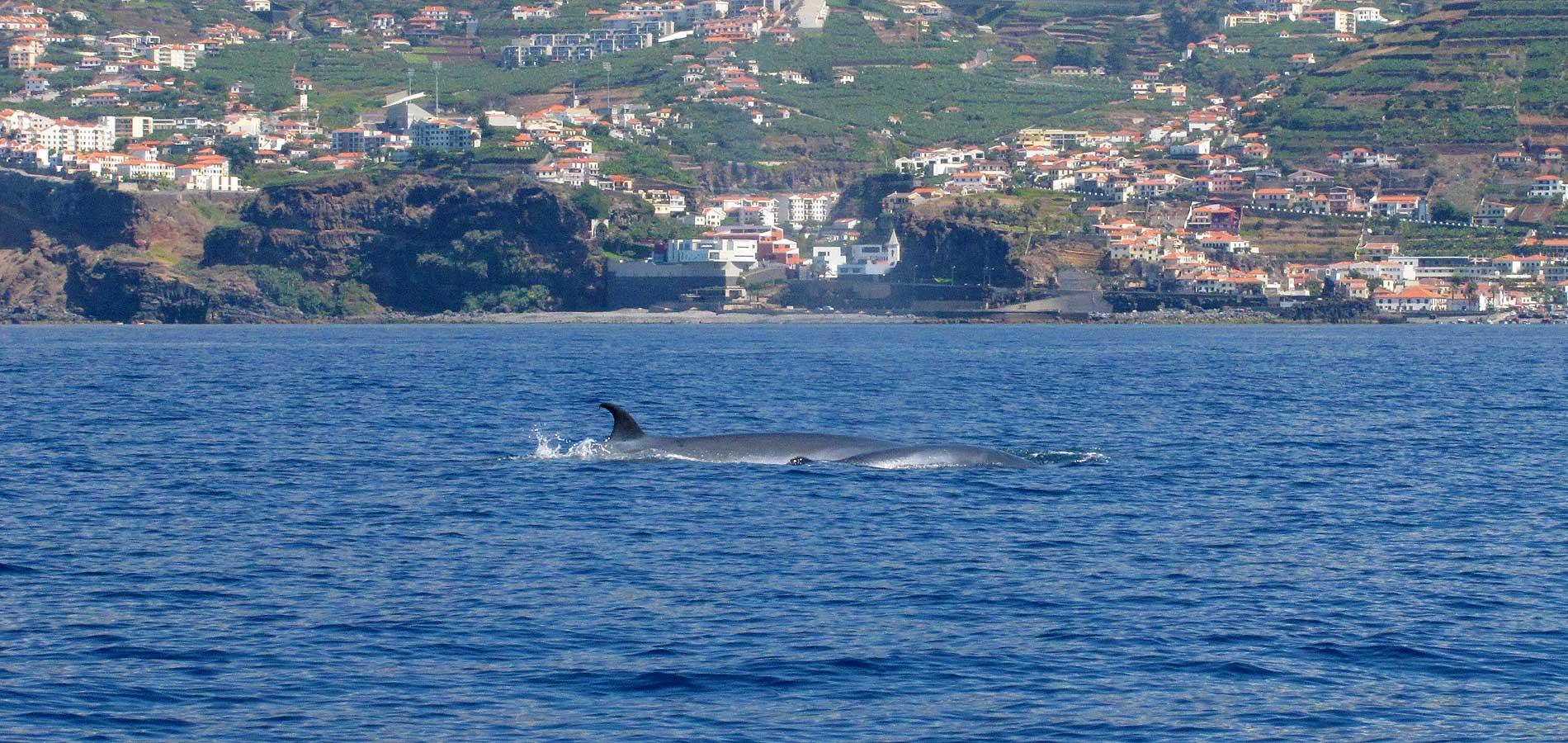 whales at madeira coastline