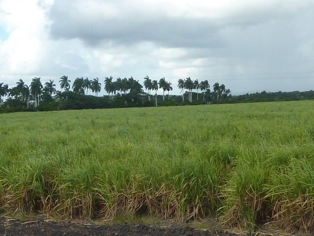 cultivo-de-cana-de-azucar-en-cuba