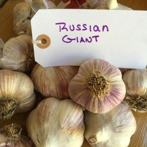 Russian Giant Garlic
