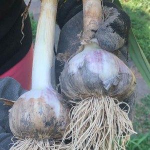 Redneck Wild Garlic