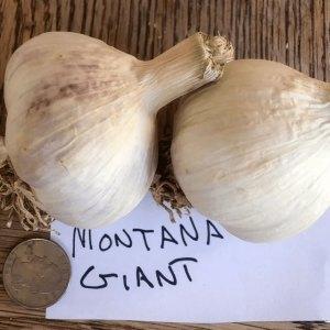 Montana Giant Garlic