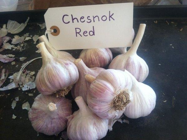 Chesnok Red