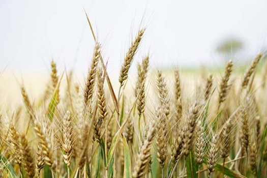 Heads of stalks of wheat, viewed close up