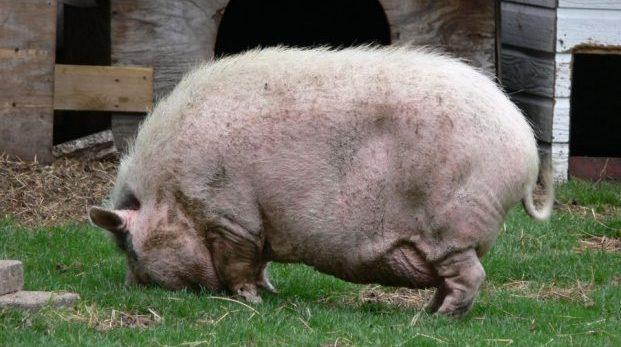 Dela inte in oss män i svin och riktiga svin