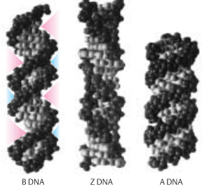 Three forms of DNA