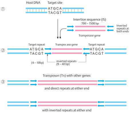 Insertion sequences (IS) and transposons (Tn)