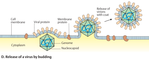 Release of a virus by budding