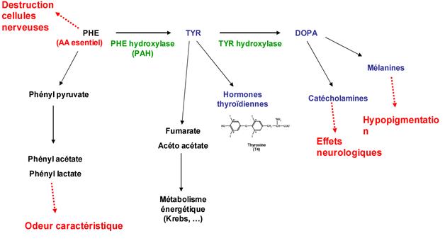 métabolisme de la Phe