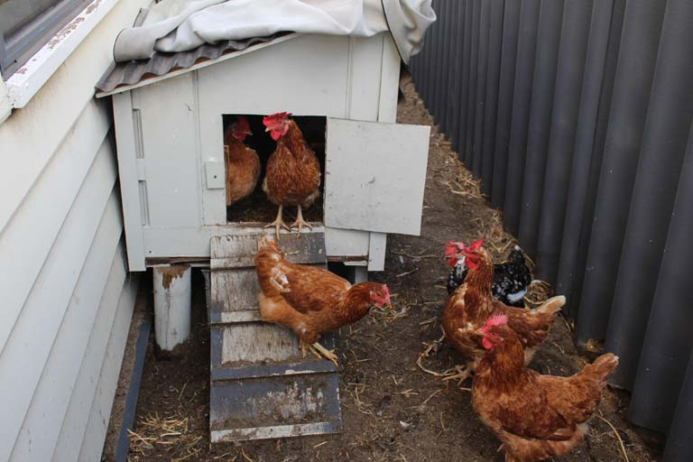 """""""Chooks"""" and their hen house in a Perth city house-sit"""