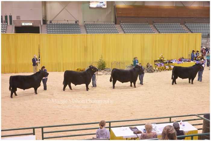 Junior Bull Division at 2015 WNAF