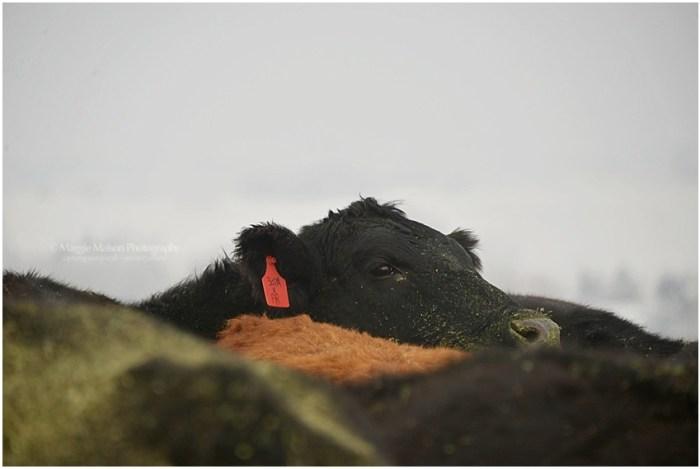 feeding cows in snow
