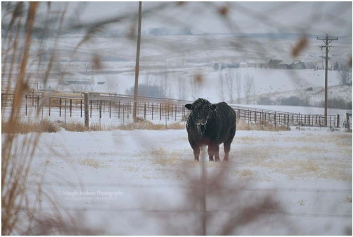 Angus bull in snow